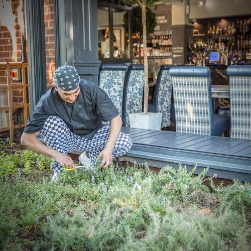 Farmhouse Restaurant Coventry - Chef cutting herbs from garden